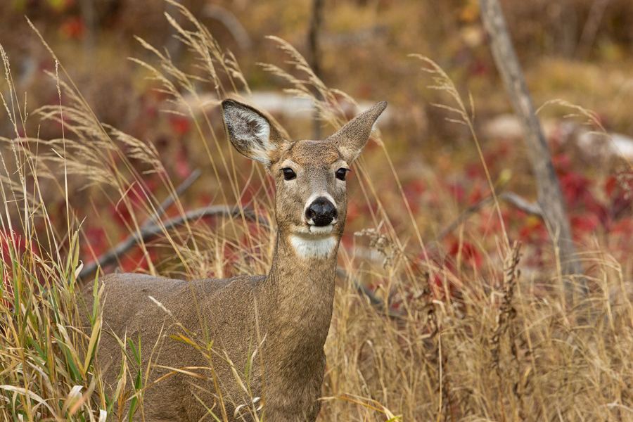 A white-tailed doe in fall grass  - Photo credit: Linda Freshwaters Arndt