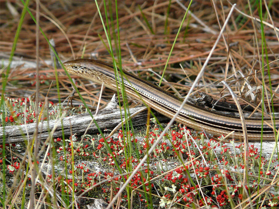 A new roadkill reporting system aims to help herptiles like this endangered slender glass lizard, one of Wisconsin's four lizards and the only legless lizard. - Photo credit: Nick Walton
