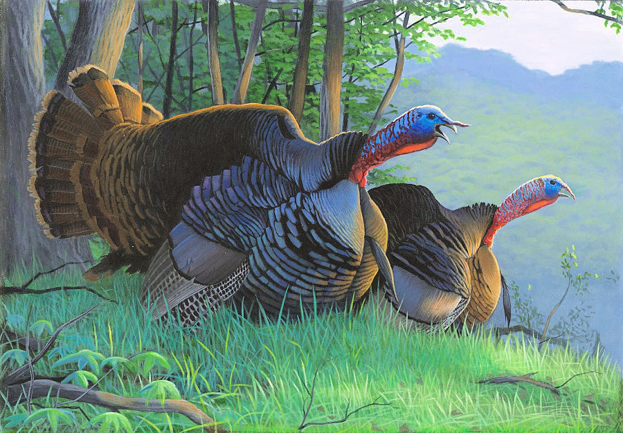 Two gobblers in the dawn of a spring day