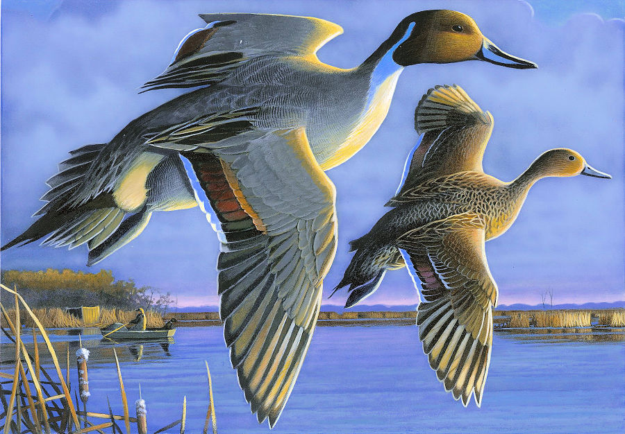 A pair of pintail ducks in flight with a hunter and his dog in the background.