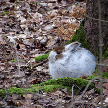 Snowshoe hares are happy to see the snow in the north so they no longer standing out like they were a week ago.