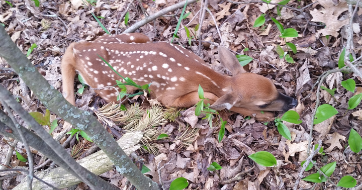 Does intentionally leave fawns alone in the woods for protection.  If you find one, leave it where it is and slowly back away.