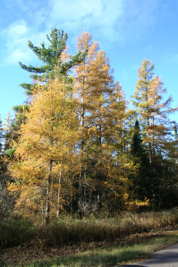 Color is now past peak at the Brule River State Forest but tamaracks continue to put on their golden display.