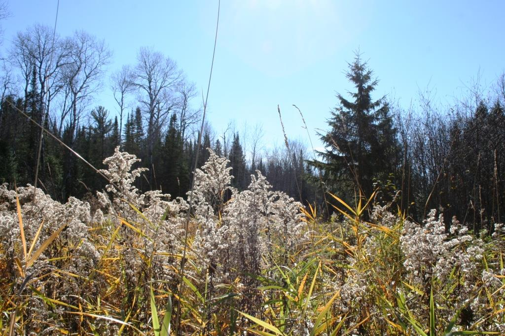 Even goldenrod has lost its color at the Brule River State Forest