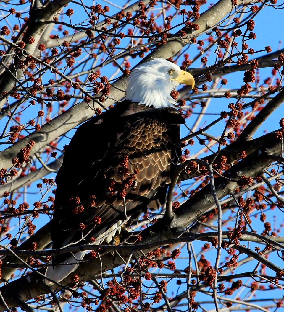 Eagles are congregating along the Mississippi River just in time for Bald Eagle Appreciation Days at Prairie du Chien this weekend.