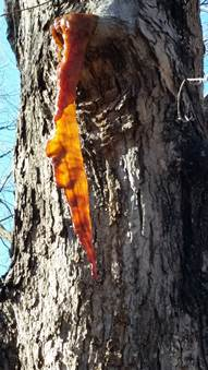 Sap icicles can form on maples that have been damaged this time of year as sap freezes at it leaves the tree.