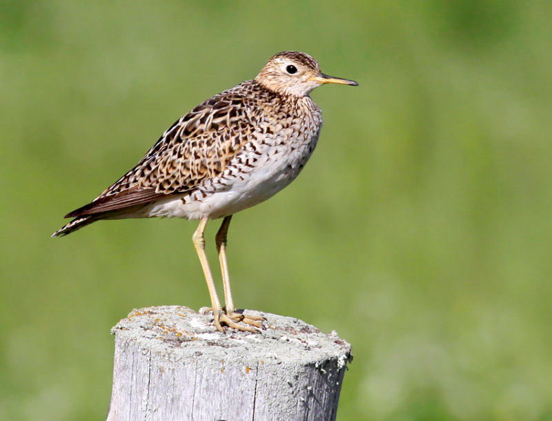 Upland sandpipers have returned to southern Wisconsin grasslands after spending the winter nearly 5,000 miles south in Argentina!