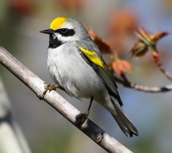 Gold-winged warbler