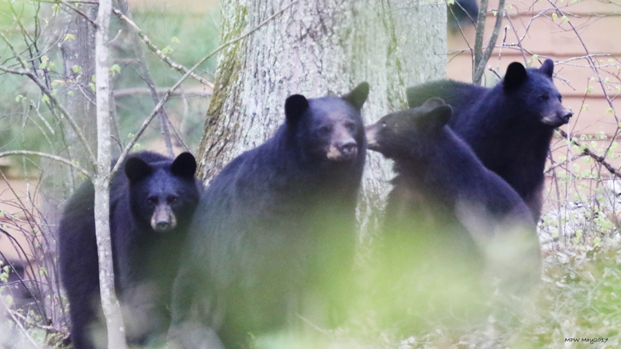 Prevent bears from getting into trouble by bringing in bird feeders, securing garbage cans, not feeding pets outside and cleaning out the grease from grills.  - Photo credit: Michele Woodford