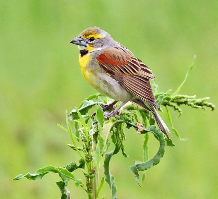 Dickcissels are being seen in good numbers across the state.
