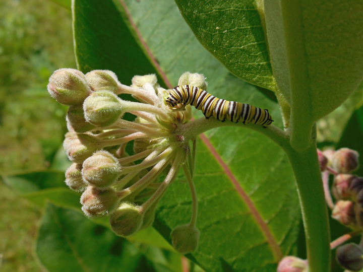 Monarch caterpillars were seen feeding on milkweed this week.