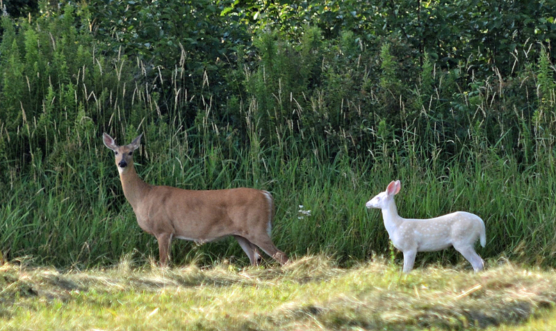 A rare albino fawn was recently observed and photographed by a Douglas County resident near Dairyland.