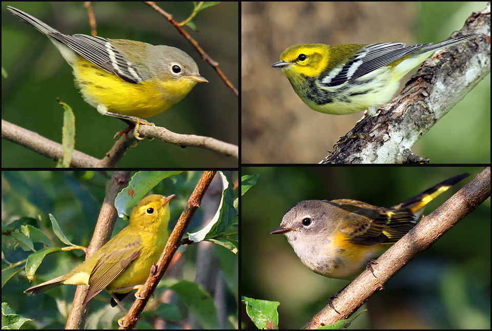 Warblers take center migration stage from late August to late September, when more than 30 species may be seen. Pictured here, clockwise from bottom left, are Wilson's, magnolia, and black-throated green warblers, with American redstart at bottom right.