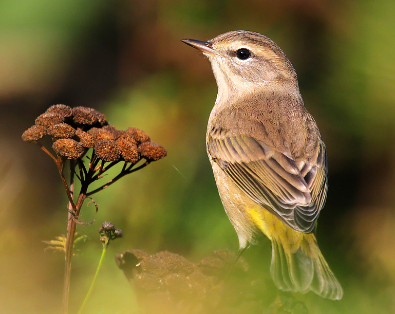 What palm warblers lack in color they make up for with personality. Look for this late-season warbler on the ground or in low shrubs as it persistently bobs its tail and gives chip notes while searching for insect prey.