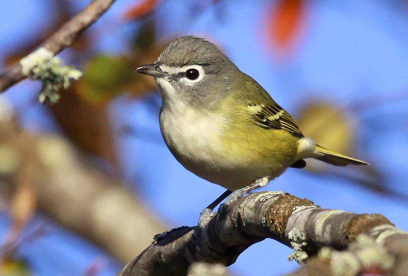 Blue-headed vireos bring color to match the season. Migrating later than the more common red-eyed vireo, look for them within flocks of forest birds through early October.