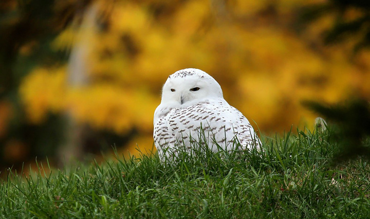Like the cold weather, a few snowy owls have arrived ahead of schedule this fall. Expect more to show up throughout November.