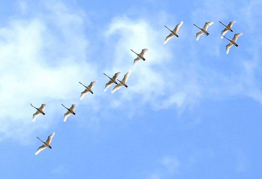 Tundra Swans infiltrated the state in large numbers on Nov 6, making traditional stopover sites.
