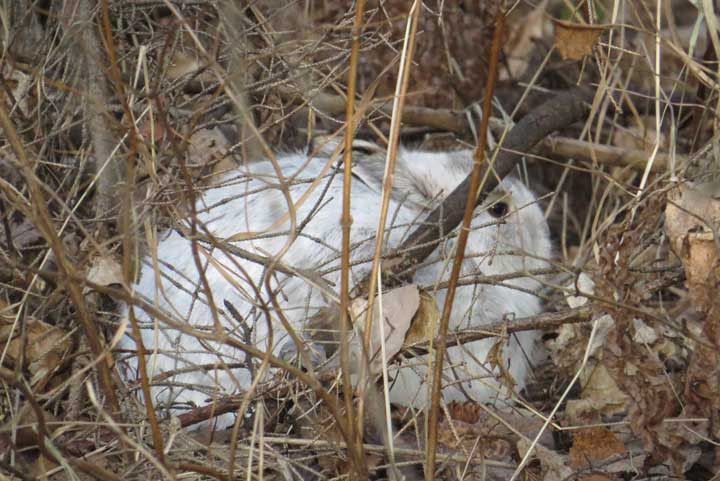 Snowshoe hares can be seen easily in the brown landscapte. - Photo Credit: Kevin Feind