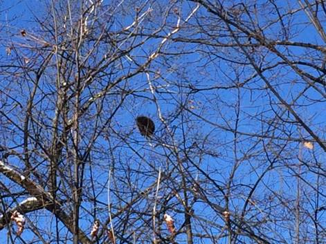 This is a good time of year to see porcupines in trees. - Photo credit: DNR