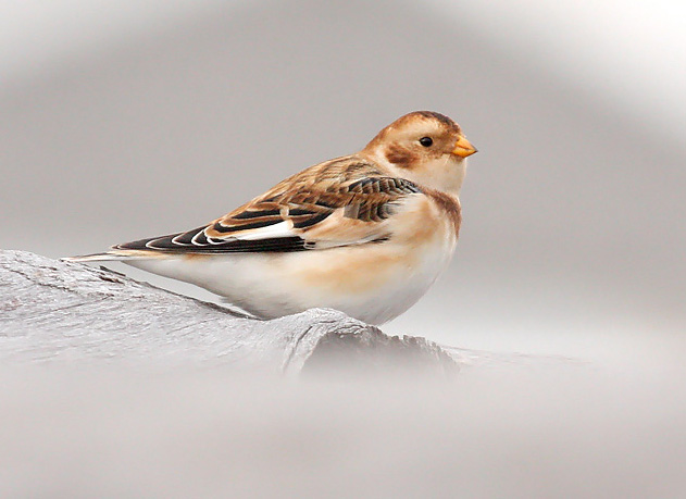 Snow buntings are well suited for Wisconsin's winter landscape. - Photo credit: Ryan Brady