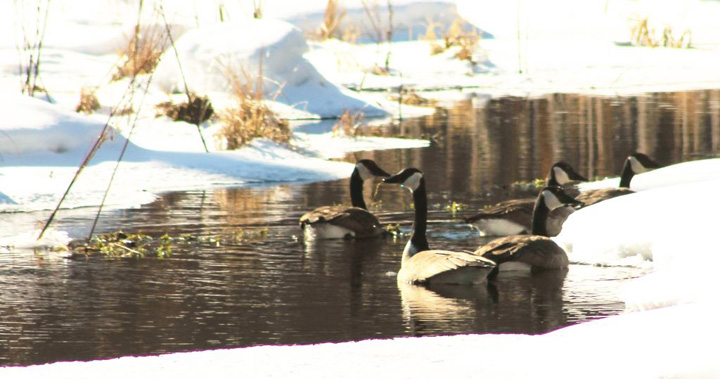 Canada geese were seen at the Brule River State Forest resting and feeding before heading farther north. - Photo credit: DNR