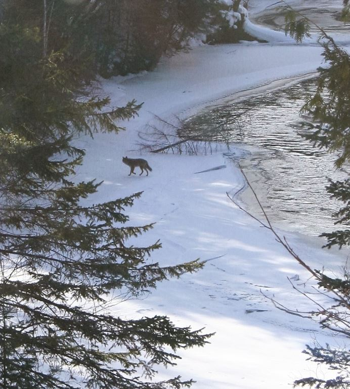 A coyote seen this week along the Brule River decided not to try and follow deer that recently crossed the open water. - Photo credit: DNR