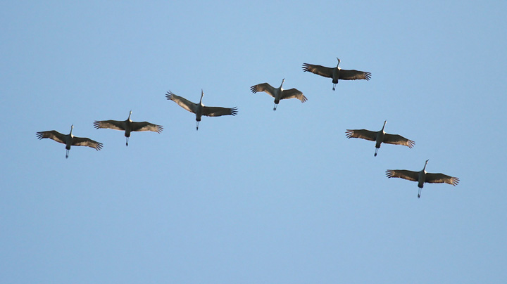 Sandhill cranes were seen this week retunring to the state. - Photo credit: Ryan Brady