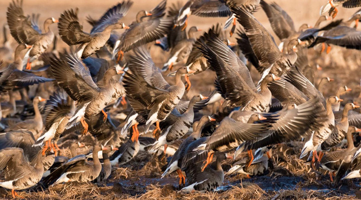 Greater white-fronted geese moved into southeastern Wisconsin by the hundreds this week. Look for more at open water bodies throughout March.  - Photo credit: Scott Weberpal.