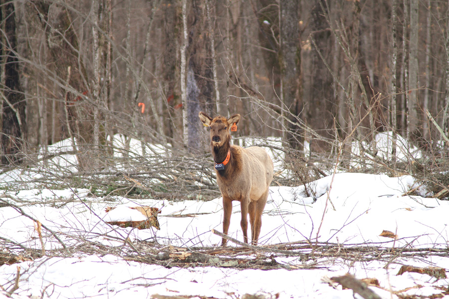 Deep snow in the Flambeau River State Forest have elk concentrating near logging operations where they browse on braches. - Photo credit: DNR