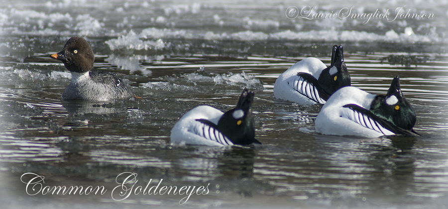 Although most common goldeneyes nest in the boreal forest north of Wisconsin, their head-bobbing courtship activities are commonly observed here in late winter and spring. - Photo credit: Laurie Smaglick Johnson