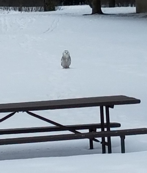 Snowy owl looking for a place to picnic at Newport State Park. - Photo credit: Contributed