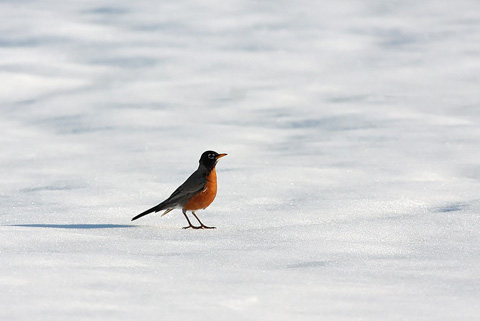 American robins congregated at feeders, fruit sources, and anywhere with bare ground during this week's snowstorms. - Photo credit: DNR