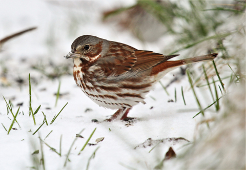 This week's snowstorms brought more fox sparrows to southern Wisconsin feeders than most observers could ever remember. - Photo credit: DNR
