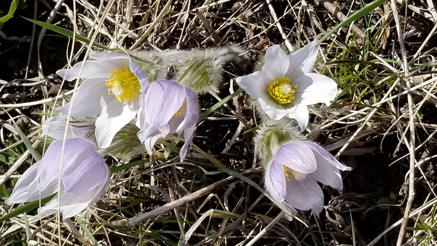 Pasque flowers are blooming in southern Wisconsin. - Photo credit: Sara Kehrli