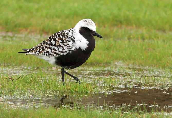 Black-bellied plover - Photo credit: Ryan Brady