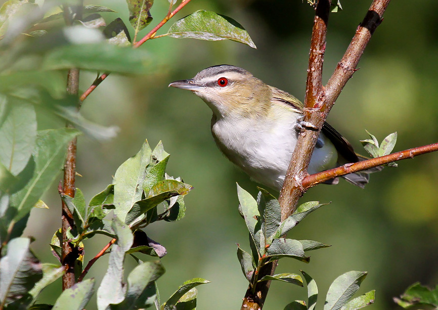 One of the state's most ubiquitous forest birds, red-eyed vireos returned to Wisconsin in a big way this past week. - Photo credit: Ryan Brady