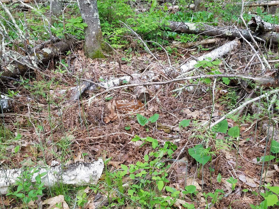 It's fawning time and does are leaving their newborns hidden for protection. Can you spot the fawn? - Photo credit: DNR