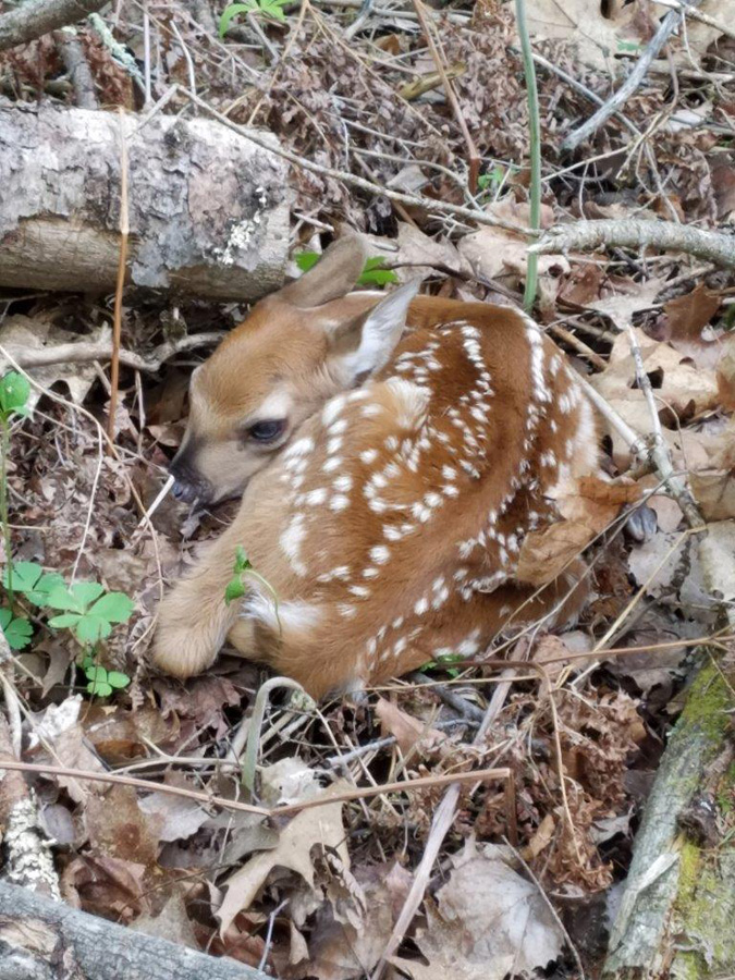 If you see a fawn along in the wild, back away slowly and leave it be.   - Photo credit: DNR
