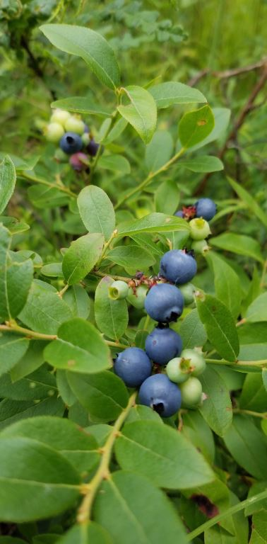 Ripening blueberries in the Brule River State Forest. - Photo credit: DNR