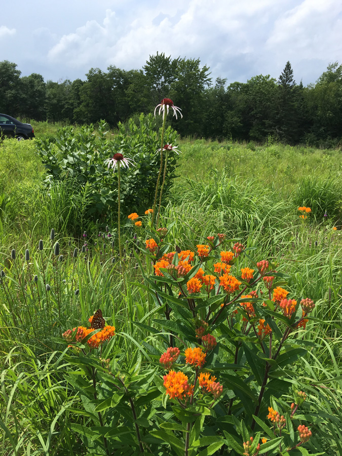 Butterfly weed,  purple cone flower, and purple prairie clover in Governor Thompson State Park prairie. - Photo credit: DNR