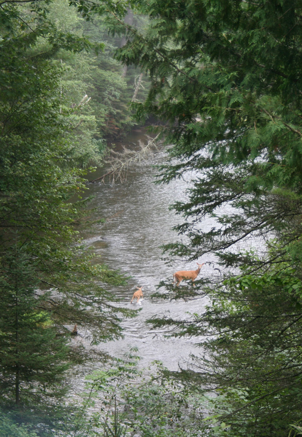 Doe and fawn cooling their hooves in the Brule River. - Photo credit: DNR