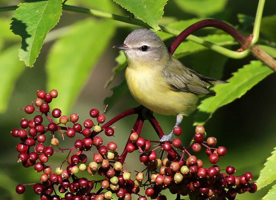 Fruit sources like this native American elderberry are excellent places to find many birds this time of year, including this uncommon Philadelphia Vireo.  - Photo credit: Ryan Brady