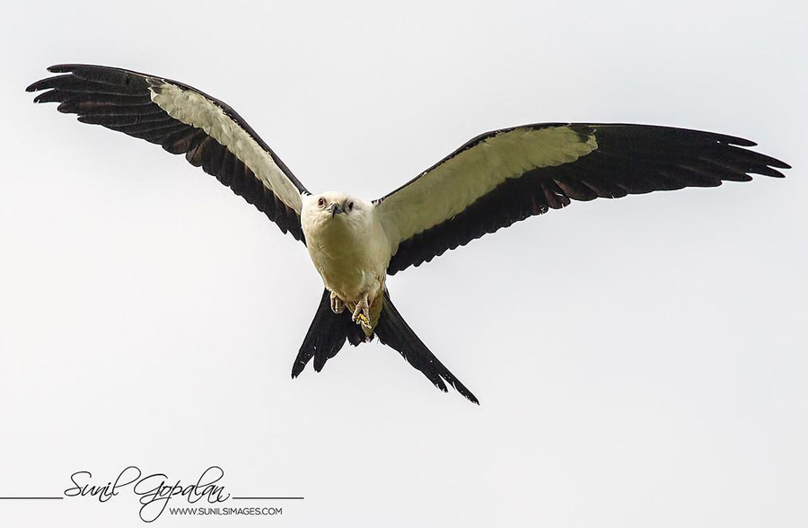 The week's best find was Wisconsin's 12th swallow-tailed kite discovered in Marquette County on August 23 and continuing as of today, August 30.  - Photo credit: Sunil Gopalan.