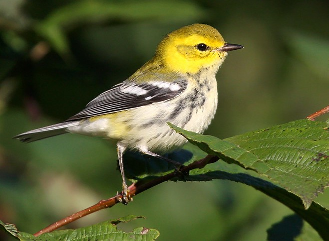 Warblers provide an identification challenge for even the most avid birders during the fall months, such as this immature Black-throated Green Warbler that lacks a black throat!  - Photo credit: Ryan Brady