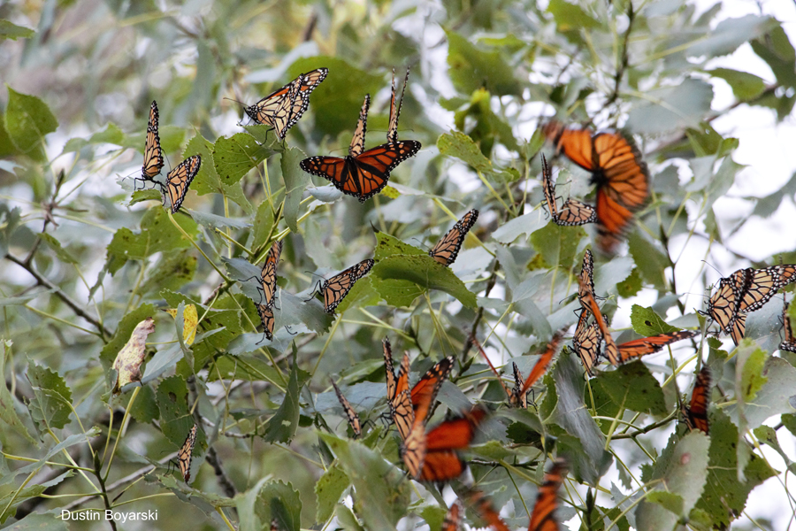 Monarchs roosting Sept. 2 in Town of Clayton in Winnebago County.  - Photo credit: Dustin Boyarski