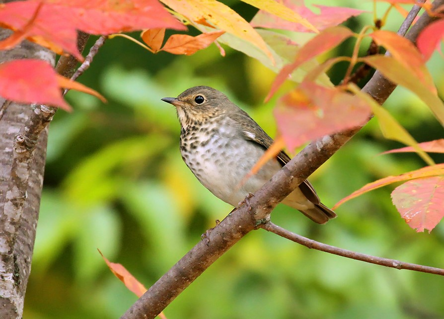 Swainson's thrushes, identified by their uniform olive-colored upperparts and buffy eye ring, are common statewide throughout September as they migrate from the Canadian boreal forest to wintering areas between southern Mexico and central South America!  - Photo credit: Ryan Brady