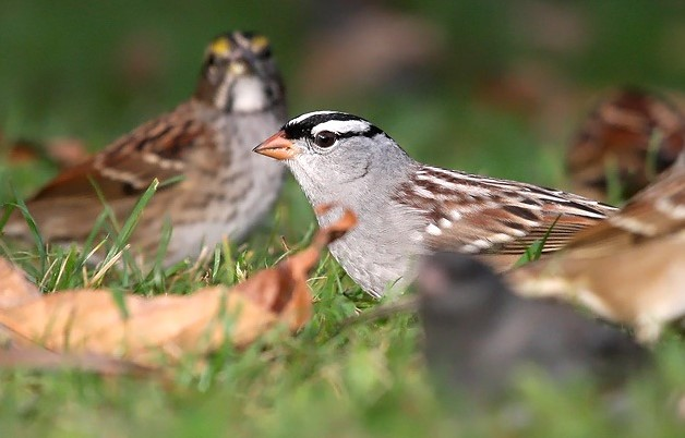 It's sparrow time across Wisconsin! Look for a few white-crowned sparrows (foreground) among larger number of white-throateds (background), dark-eyed juncos and nearly a dozen other species.  - Photo credit: Ryan Brady