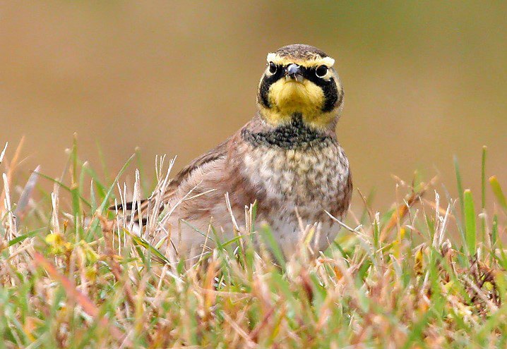 October is a good time to check shorelines and weedy open areas for migrating horned larks (pictured), American pipits, Lapland longspurs, and soon enough - Snow Buntings!  - Photo credit: Ryan Brady