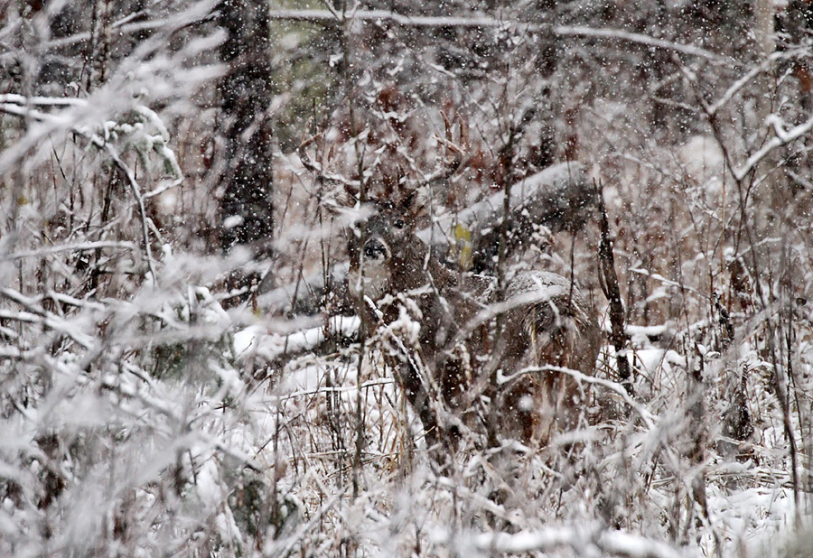 Recent snowfalls in the north may bode well for the opening of the 2018 Wisconsin nine-day gun deer season Nov. 17. Buck in a snowy woods. - Photo credit: Ryan Brady