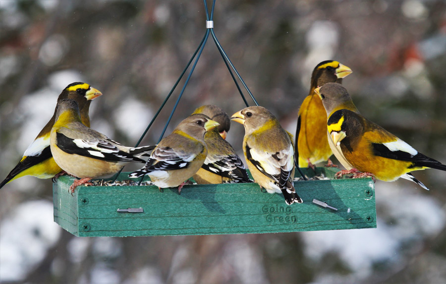 Attract evening grosbeaks to your feeders with black oil sunflower seeds presented on a platform feeder, hopper feeder, or other flat surface such as a table or the ground.  - Photo credit: Ryan Brady